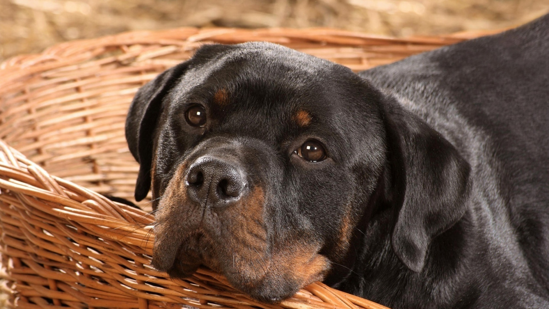 German Rottweiler is the best breed to take care your place