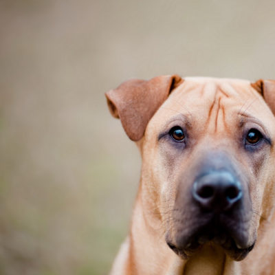 Black Mouth Cur : care, training and hunting skills