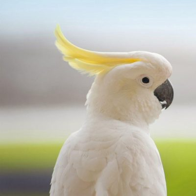 Cockatoo For Sale – Tips to Help You When Looking For Birds For Sale